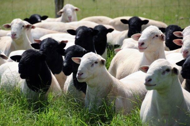 Evolução da caprino e ovinocultura no Brasil