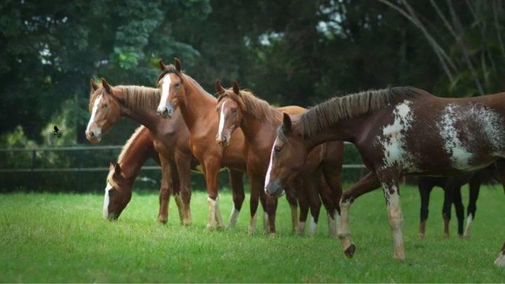 Cavalos criados na Fazenda Vassoural — Foto: Divulgação/Fazenda Vassoural