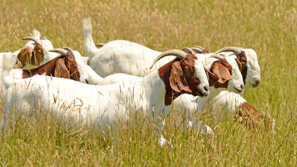 caprinos manejo alimentar de reprodutores