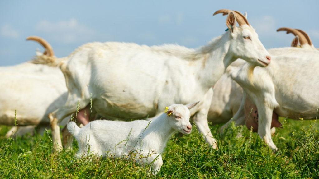 manejo alimentar dos caprinos