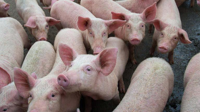 Mercado de suínos no início de março se mostra estável