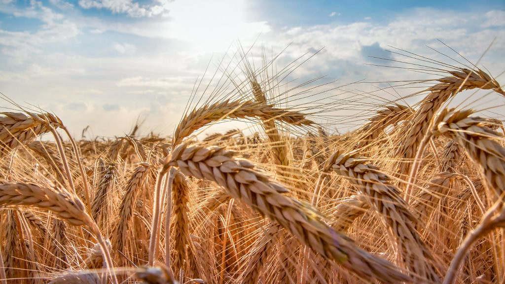 trigo maior consumo mais producao