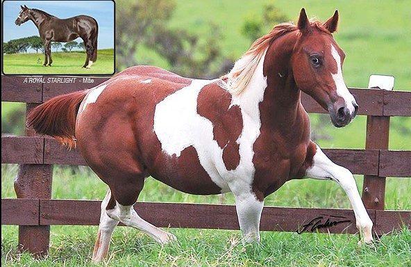a royal winning paint horse