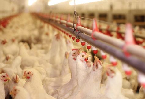 Evento online: 21º Simpósio Brasil Sul de Avicultura