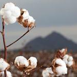 Projeto Ouro Branco impulsiona cultivo do algodão em São Paulo