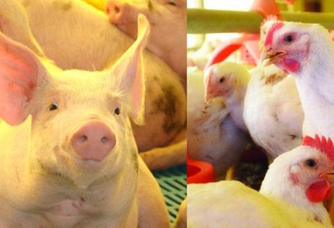 Suínos e frangos mantêm estabilidade do mercado de carne