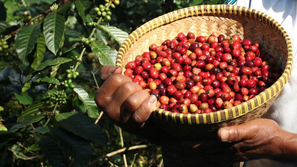 cafe colheita de robusta comeca a ganhar ritmo