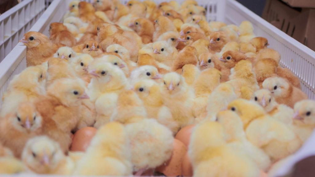 desafios para o controle de salmonella na cadeia de producao de incubatorio