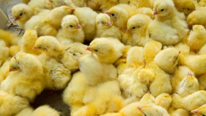 bem-estar animal na avicultura