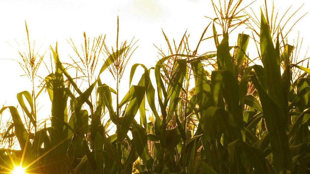 Levantamento do SindiTabaco afirma que produtores foram beneficiados pela alta valorização dos grãos este ano