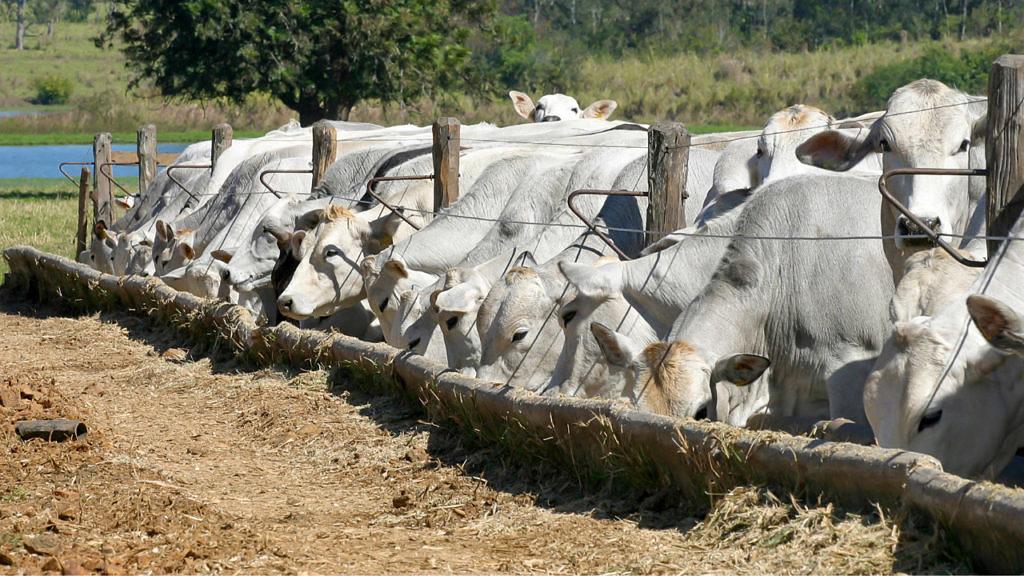 Suplementação com fosfato bicálcico é imprescindível para a nutrição e o bom desempenho zootécnico de ruminantes
