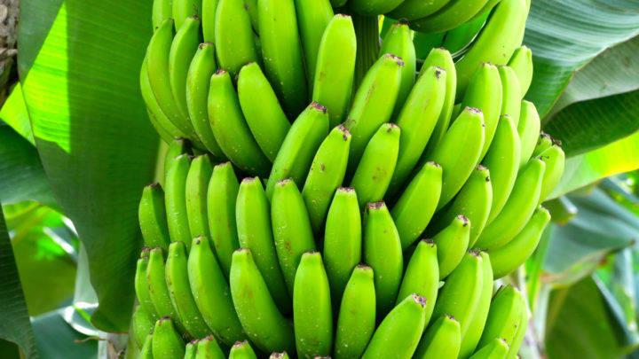 Benefícios dos aminoácidos no manejo das bananas