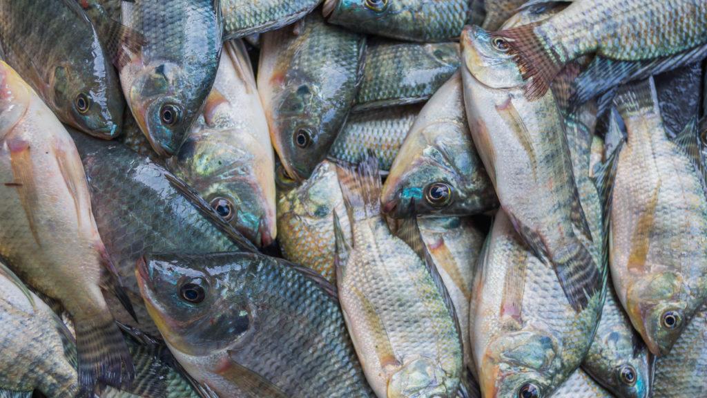 Cadeia do pescado ganha indicador de preços da Tilápia