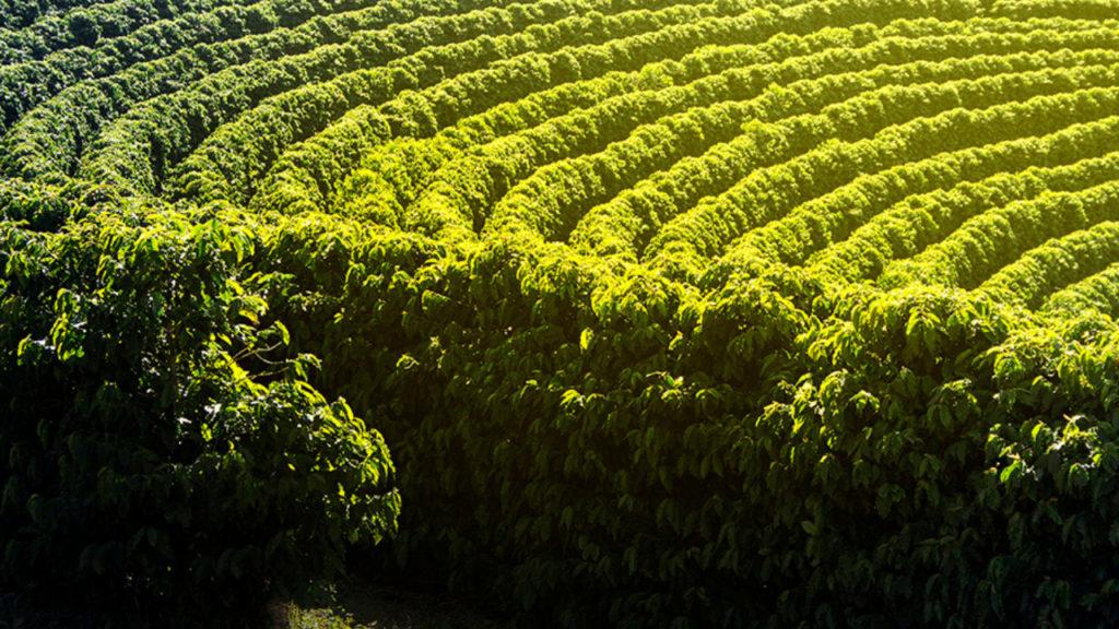 cafe e o produto com maior numero de indicacoes geograficas no brasil1
