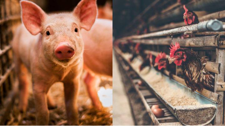 Carne de suínos e aves recupera cotações em junho