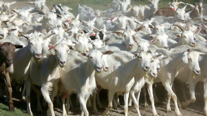 Destaque da Paraíba na produção de leite de cabra