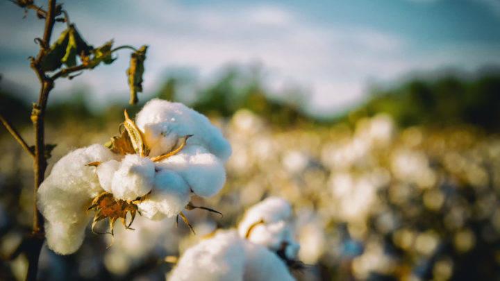 Exportações de algodão do Brasil disparam