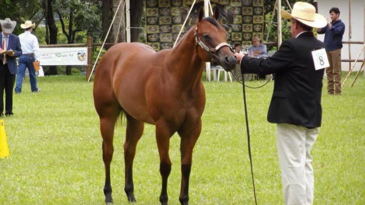Liga Nacional do Cavalo de Conformação está há oito anos fomentando o esporte