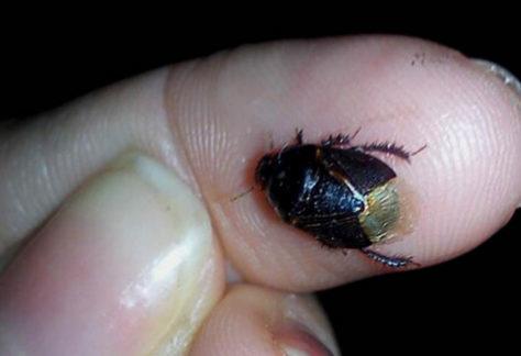 Nova tecnologia para controle do percevejo-preto no amendoim