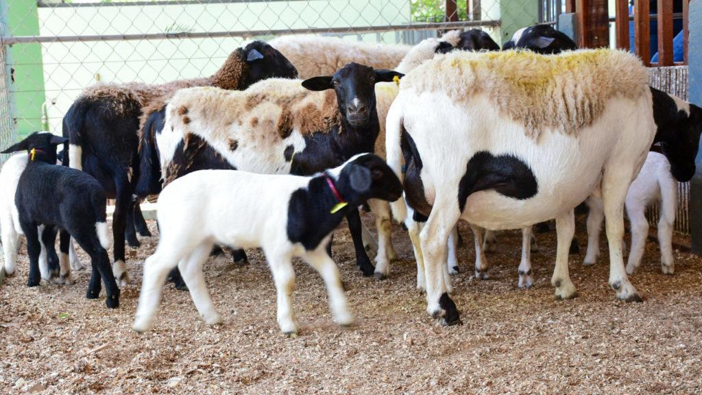 Nutrição durante a puberdade influi na reprodução de ovelha