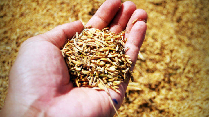 Preços domésticos do trigo seguem em queda