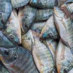 Protocolo de abate humanitário de peixes