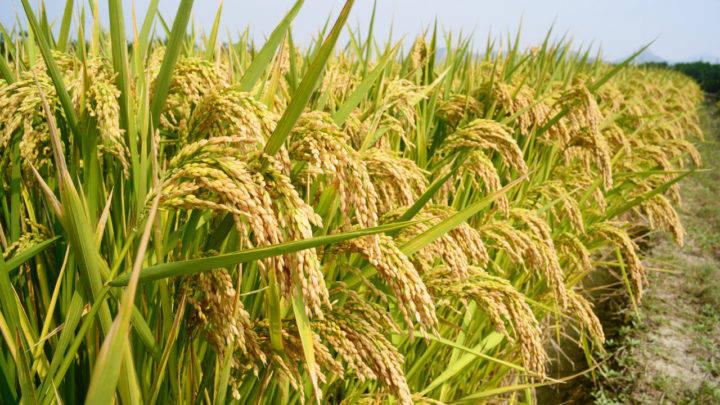 Safra 202021 do arroz mais cara, mas com recorde de produtividade