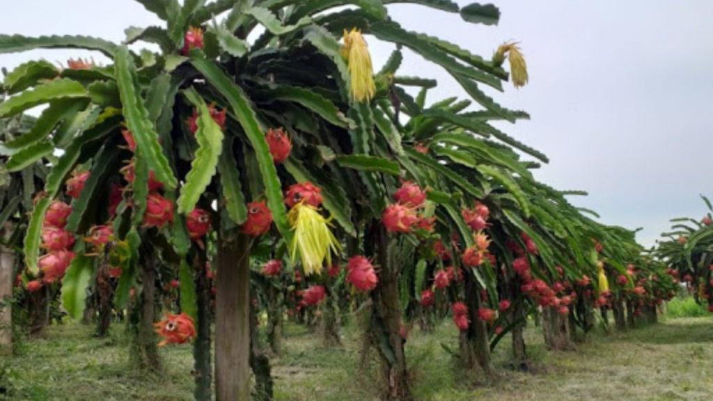safra de pitaya pode durar ate 8 meses dependendo do local de cultivo 1