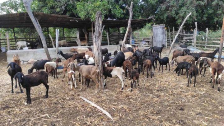 Projeto na Bahia aposta na produção de caprinos e ovinos