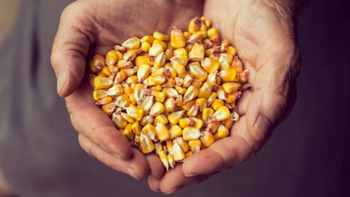 Regiões produtoras do milho se preocupam com as condições climáticas