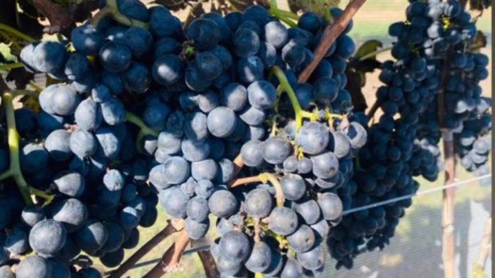colheita de inverno na vinicultura 1