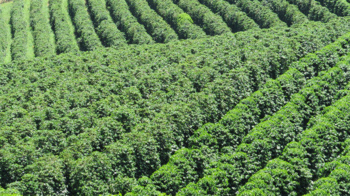 No Brasil, geadas registradas em áreas de cana-de-açúcar, café e milho
