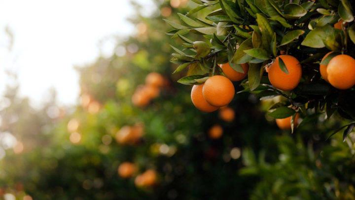 Preço da laranja pera deve seguir firme em julho