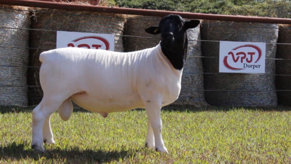 Produção dos principais carneiros da atualidade no Brasil à venda no 40º Leilão Dorper e White Dorper VPJ