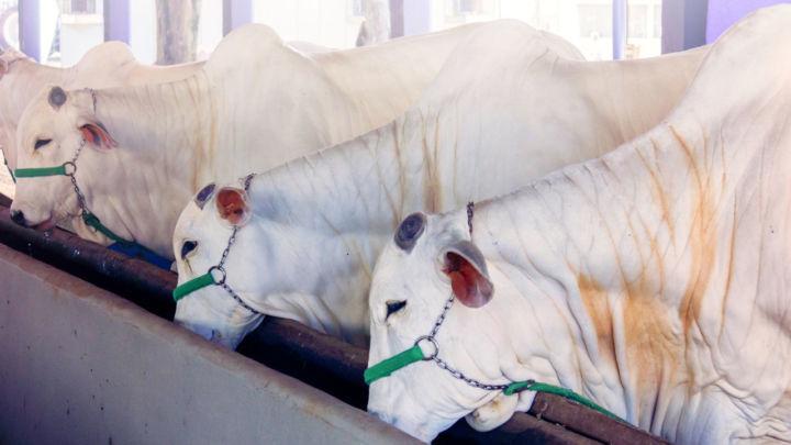 Sistema de engorda de bovinos exige suplementação à base de óxido de magnésio