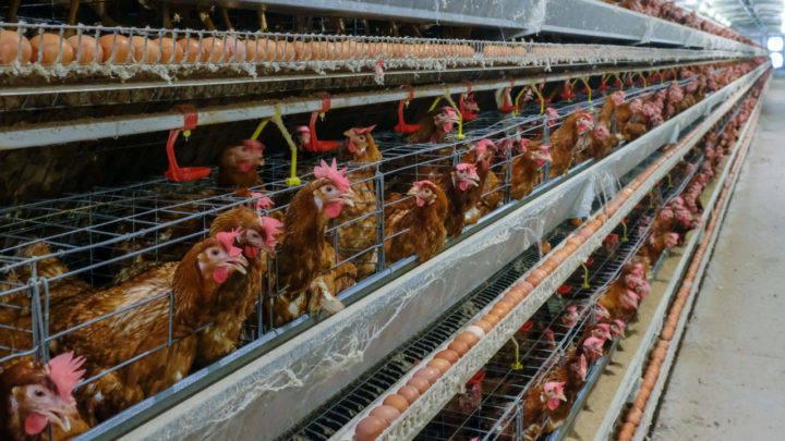 Tecnologia garante conforto térmico na produção animal