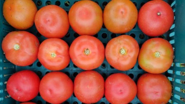Tomate: Produção de até 7 kg de frutos por planta!
