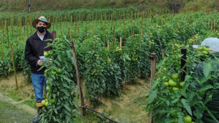 tomate producao de ate 7 kg de frutos por planta1