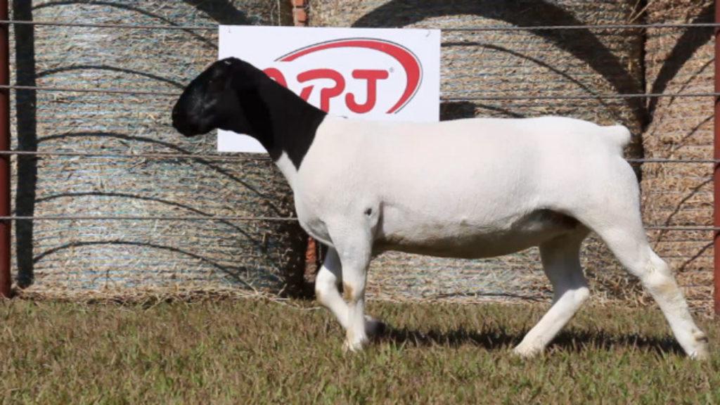 Produção dos principais carneiros da atualidade no Brasil à venda no 40º Leilão Dorper & White Dorper VPJ