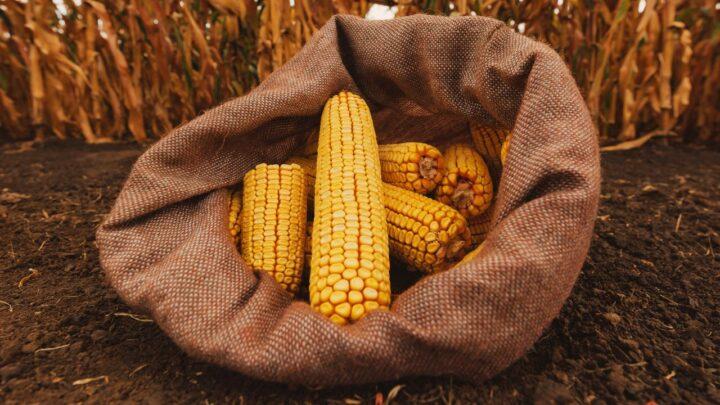 Alta liquidez no mercado futuro de milho brasileiro