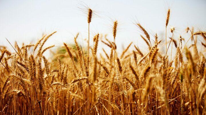 Após geadas, Geosys alerta para a baixa umidade do solo nas áreas de trigo e cana-de-açúcar