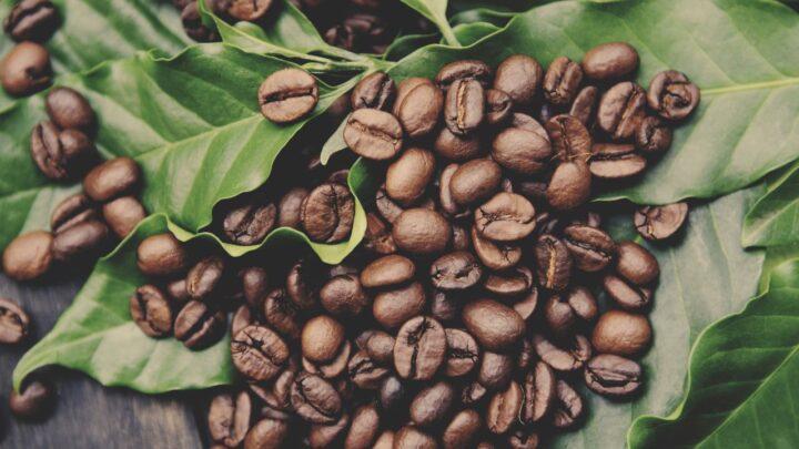 Café Preço mais elevado das sacas em plena colheita