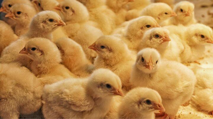 Cobb debate manejo de pintinho e produção livre de antibiótico em webinar