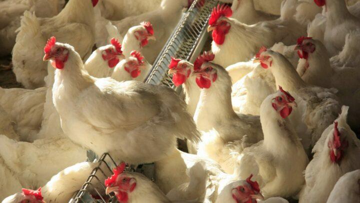 Cresce abate de frangos e suínos, no Brasil