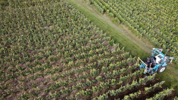 Geadas e chuvas prejudicam seriamente setor vinicola europeu 1