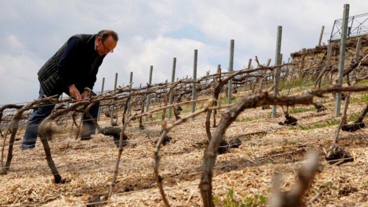 Geadas e chuvas prejudicam seriamente setor vinícola europeu