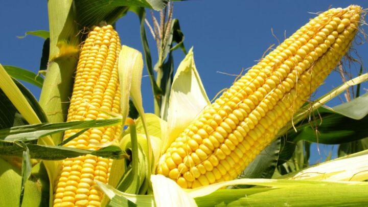 Para o mês de agosto, Anec prevê recuo na exportação de milho do Brasil