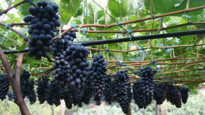 Produção de uva de mesa no Cerrado