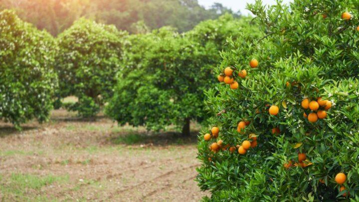 Verão nos EUA pode afetar produção de citros