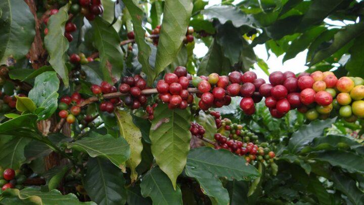 Conab estima queda de 38,1% na safra de café em MG